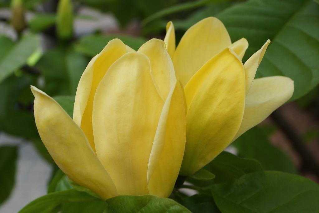 Magnolia Yellow Bird hoogte en hoe groot