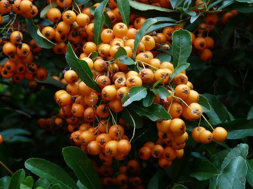 Klimplanten voor een smalle haag - Pyracantha vuurdoorn