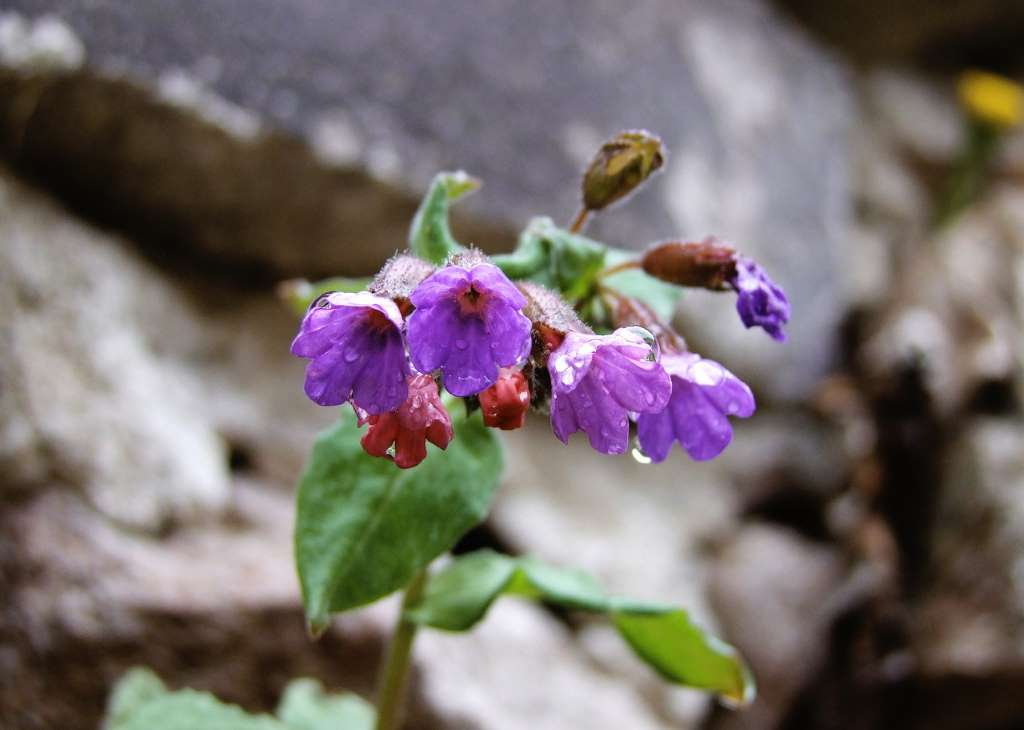 Welke planten in schaduw? - Pulmonaria (longkruid)