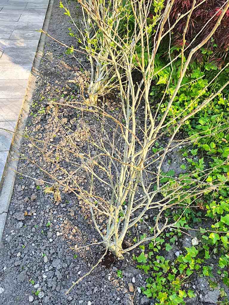 Hibiscus kaal, altheastruik, tuinhibiscus geen blad