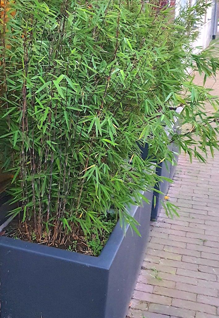 Is bamboe geschikt voor in een pot of plantenbak?