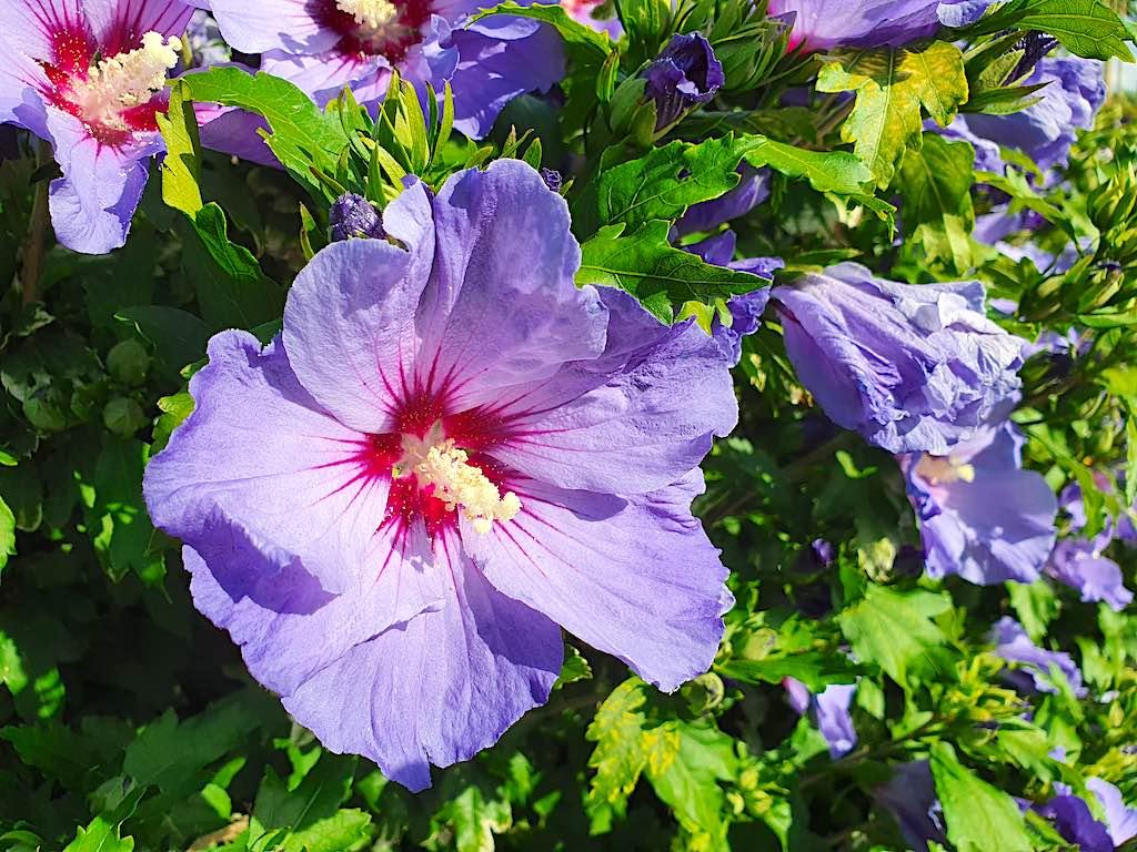 Is Hibiscus winterhard? Waarom krijgt Hibiscus geen blad?