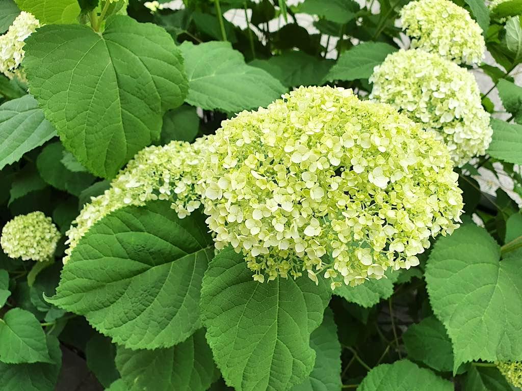 Hortensia die niet omvalt of doorbuigt:  Hydrangea Strong Annabelle