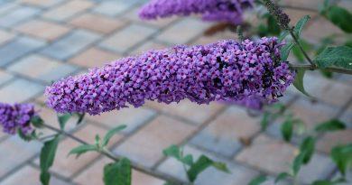 Dwergvlinderstruik of laagblijvende vlinderstruik