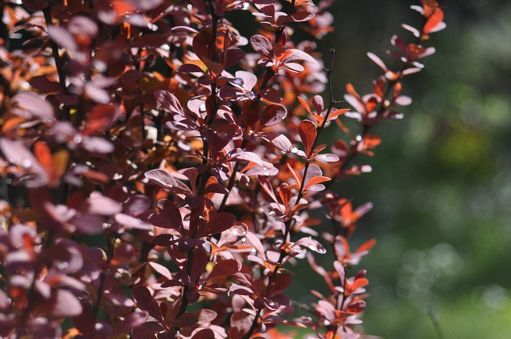 Rode haagplanten - Rode zuurbes (Berberis thunbergii Atropurpurea)