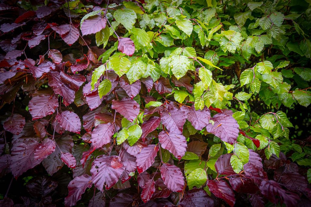 Rode haagplanten - Rode beuk (Fagus sylvatica Atropunicea of Atropurpurea)