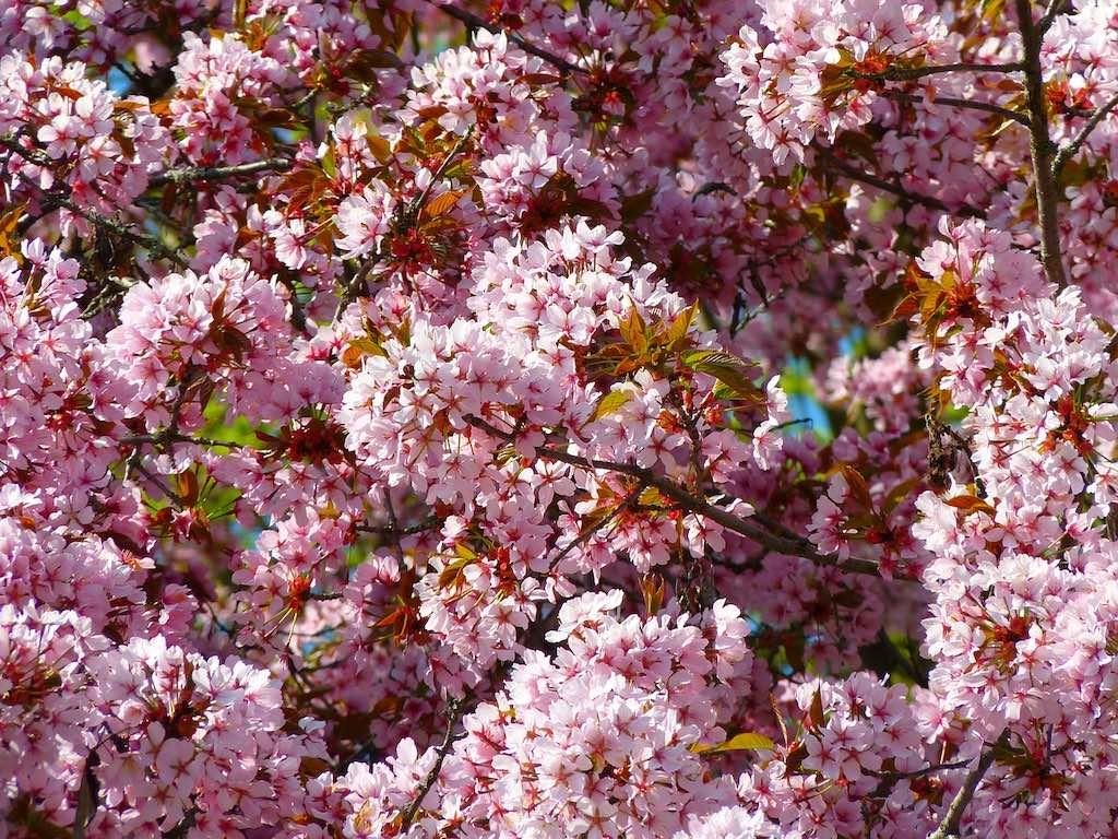 Rode haagplanten - Rode kerspruim (Prunus cerasifera Nigra)